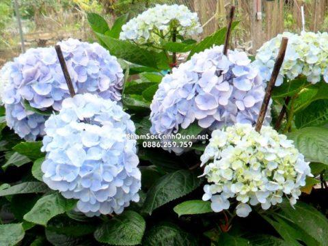 Hoa cẩm tú cầu đẹp